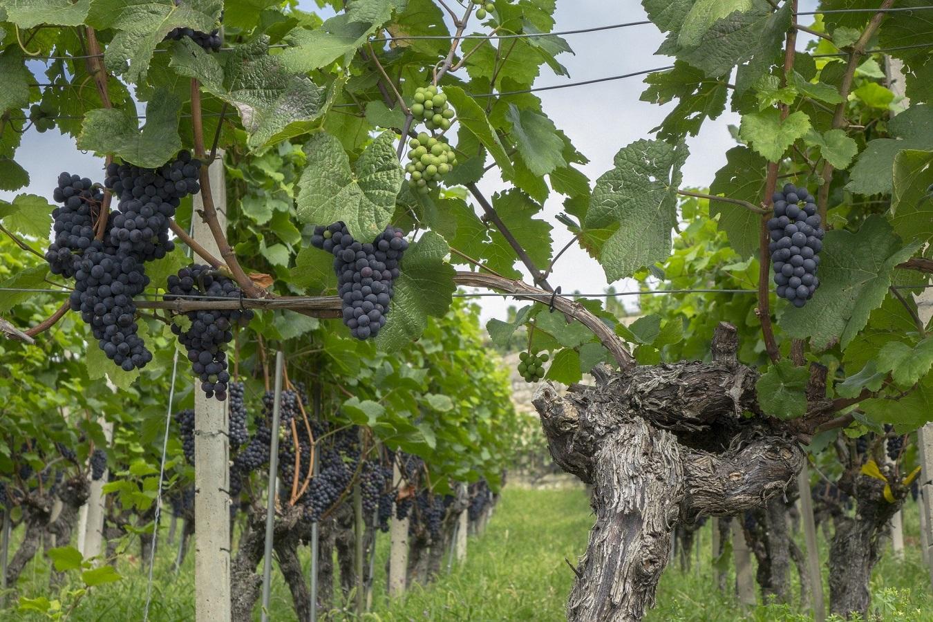 Dai vitigni autoctoni ai vitigni internazionali: significato e differenze